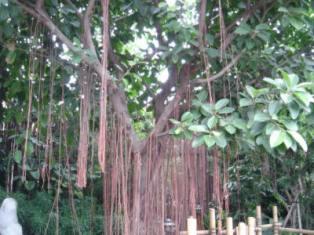 Banyan Tree 028
